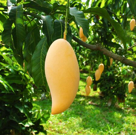Fresh yellow mango hanging from a mango tree in the garden