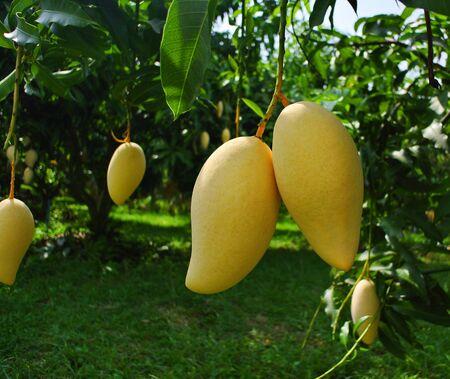 Fresh mango hanging from a mango tree in the garden