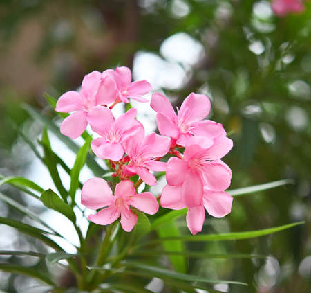 Close up view pink oleander or Nerium flower blossoming on tree. Beautiful flower in garden.