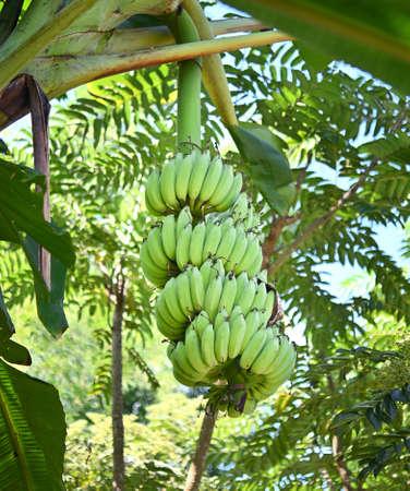 Fresh  banana handing from banana  tree in the orchard of Thailand ; fruits contain vitamin .