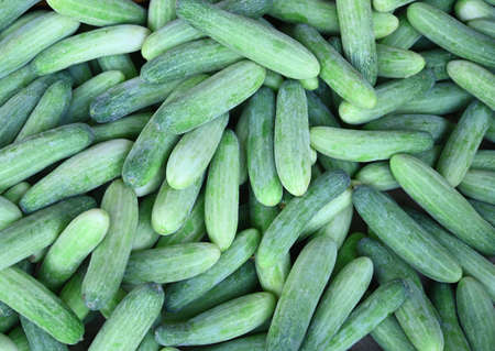 Cucumber background Cucumber harvest. vegetable for salad;Fresh cucumber in the field.