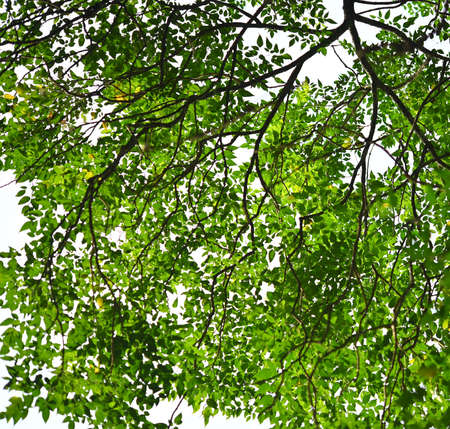 Green tree leave on white in garden; clear sky.