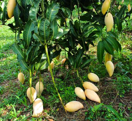 Yellow Mangoes on the tree,Fresh mango fruit in the garden. Stock fotó