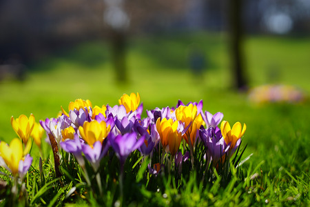 yellow, purple and white crocuses growing on the ground in early spring.