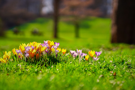 Crocusses in a park in the middle of munich