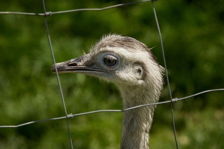 The greater rhea (Rhea americana) is a flightless bird found in eastern South America. Other names for the greater rhea include the grey, common, or American rhea, nandu Guarani or ema