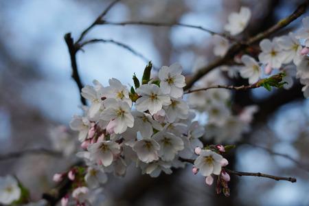 apple blossoms iin munich near the alps Stock Photo