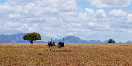 Family of ostriches in South Africa Stock Photo