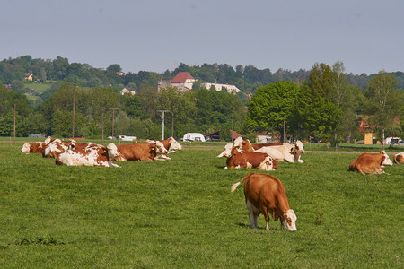 Herd of cows at summer green field Banco de Imagens - 102843175