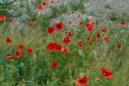 Red poppy flowers. Poppy flowers and blue sky in a field with bees and bumblebees