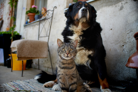 Bernese Mountain Dog with a cat cute Фото со стока