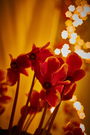 cyclamen at christmas time with christmas lights in background in a warm house in december Banque d'images