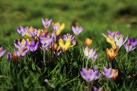 yellow and purple crocuses growing on the ground in early spring.