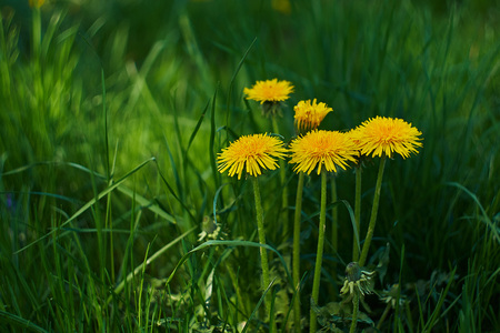 Yellow dandelions in the green grass on a meadow in bavaria Stock Photo