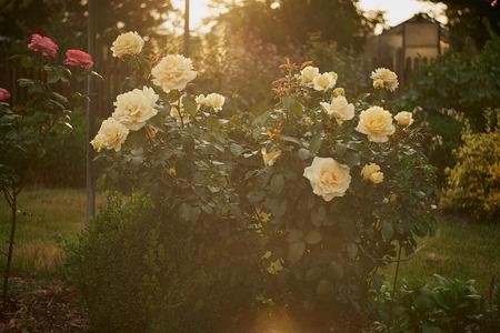 White rose in a garden in bavaria