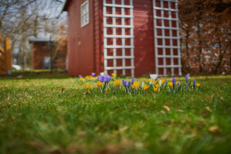 Crocusses in springtime in munich bavaria