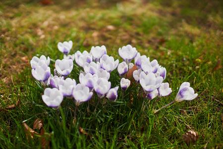 Crocusses in springtime in munich bavaria Stock Photo - 123867508