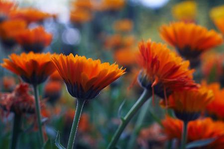 Calendula officinalis or Pot Marigold Common Marigold Scotch Marigold Ruddles Pot Marigold Stock Photo - 123867524