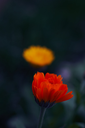 Calendula officinalis or Pot Marigold Common Marigold Scotch Marigold Ruddles Pot Marigold Stock Photo - 123867526