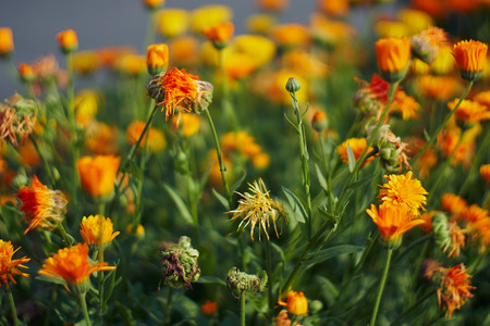 Calendula officinalis or Pot Marigold Common Marigold Scotch Marigold Ruddles Pot Marigold Stock Photo - 123867613