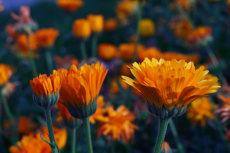 Calendula officinalis or Pot Marigold Common Marigold Scotch Marigold Ruddles Pot Marigold Stock Photo - 123867619