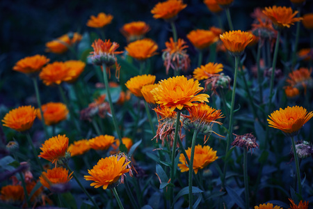 Calendula officinalis or Pot Marigold Common Marigold Scotch Marigold Ruddles Pot Marigold