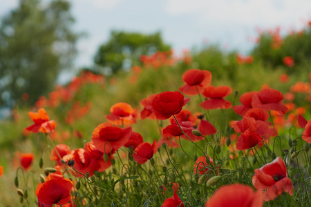 Red poppy flowers. Poppy flowers and blue sky in a field with bees and bumblebees Stock Photo - 123867632