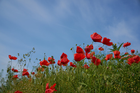 Red poppy flowers. Poppy flowers and blue sky in a field with bees and bumblebees Stock Photo - 123867786