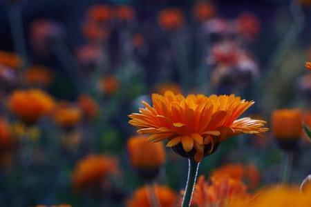 Calendula officinalis or Pot Marigold Common Marigold Scotch Marigold Ruddles Pot Marigold Stock Photo - 123867793