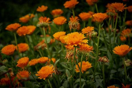 Calendula officinalis or Pot Marigold Common Marigold Scotch Marigold Ruddles Pot Marigold Stock Photo - 123867795
