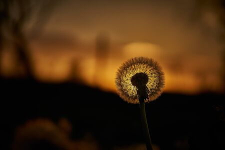 Dandelion silhouette against sunset with seeds blowing in the wind in bavaria near munich