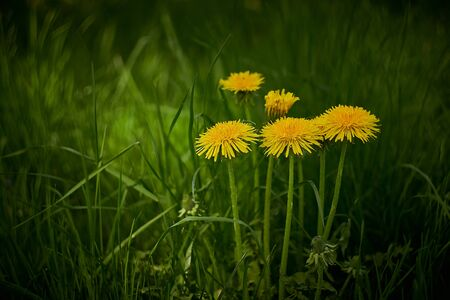 Yellow dandelions in the green grass on a meadow in bavaria Stock Photo - 133086334