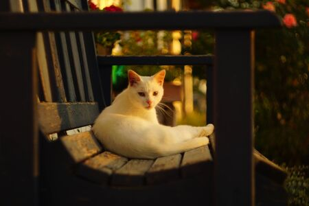 White shabby stray cat on a wooden bench basking after lunch in the summer sun