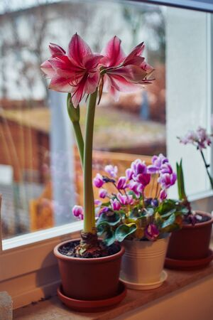 Hippeastrum on the window decorated for Christmas