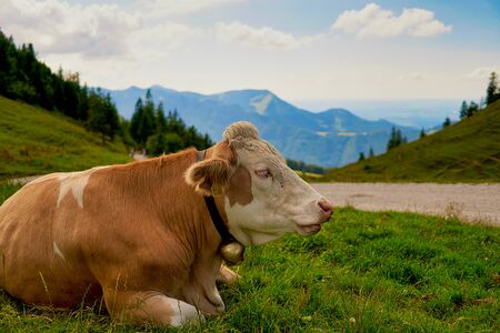 Cow on mountain pasture in the alps at the kampenwand chiemgau Stock Photo - 132078907