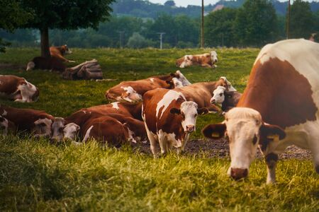 herd of cows on pasture in Bavaria