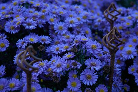 Blooming European Michaelmas Daisy (Aster amellus)