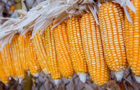 yellow corn: Raw of dry yellow corn