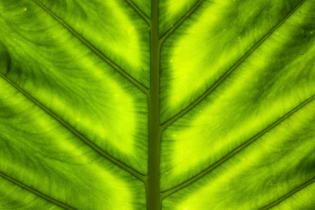 venation: Abstract green leaf texture Stock Photo
