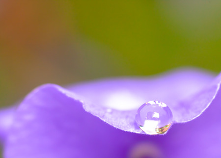 hydrophobic: drops of dew on a purple leaf Stock Photo