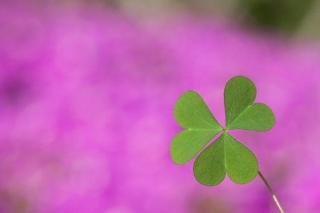 three leaf clover: three leaf clover in the purple background, lucky leaf,heart leaf Stock Photo