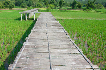 s curve: s curve bamboo bridge , old bamboo bridge in rice field of loei thailand