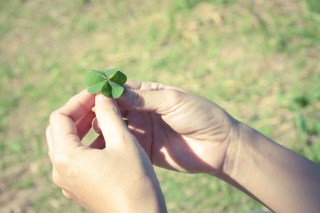 four leaved: Four leaf clover , lucky leaf Stock Photo