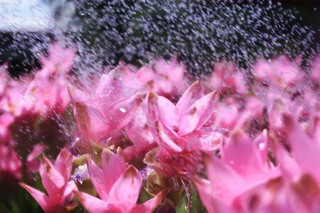 siam: Siam tulip in the garden Stock Photo