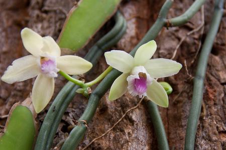 flor de vainilla: planta de la vainilla y la vaina de color verde en el bosque