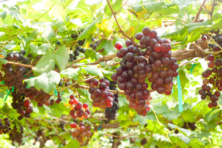 Red grapes ready to be harvested at a vineyard. Banco de Imagens