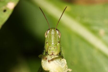 Differential Grasshopper eating a leaf.