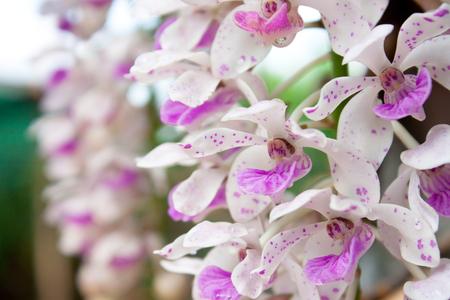 gigantea: Thai orchid , pink Rhynchostylis gigantea