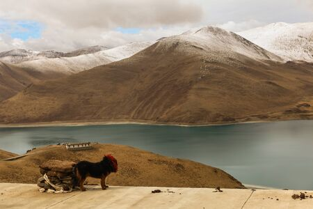 Beautiful holy Yamdrok lake with snow mountain in background and a tibetan mastiff as foreground in a cloudy day Zdjęcie Seryjne