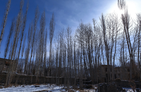 Line of poplar trees in the Leh village during winter against sunlight in background
